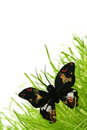 Black butterfly Stock Images