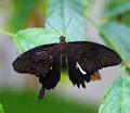 Black butterfly on green leave Stock Images