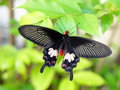 Black butterfly one with white stripes and red dots with red body resting on a green leaf in tropical environment under natural Royalty Free Stock Photos