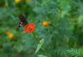 Black butterfly on a red flower. Royalty Free Stock Photo