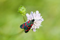Black Butterfly with red spots. Six-spot burnet insect. Zygaena filipendulae macro view, soft focus, green background Royalty Free Stock Photo