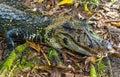Black Caiman, Amazon Rainforest Royalty Free Stock Photo