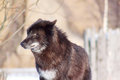 Black canadian wolf looks out for its prey. Royalty Free Stock Photo
