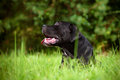 Black cane corso dog portrait outdoors breed outside Stock Photo