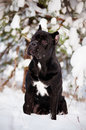 Black cane corso dog in the snow Royalty Free Stock Photography