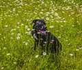 Black cane corso in flowers Royalty Free Stock Photo