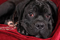 Black cane corso puppy portrait Stock Photo