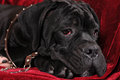 Black cane corso puppy portrait in leather collar Royalty Free Stock Photos