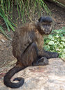 Black capped capuchin a or cebus apella also known as tufted or brown looking very Stock Photos