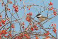 Black-capped chickadee Stock Images