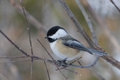 Black-capped Chickadee Royalty Free Stock Photos