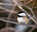 Black Capped Chickadee Stock Image