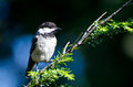 Black capped chickadee against a blue background Stock Images