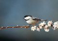 Black capped chickadee a on a apple branch Royalty Free Stock Photo