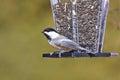 Black-capped Chickadee at a Bird Feeder Royalty Free Stock Photo