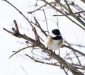 Black capped chickadee cute small sitting on branch Royalty Free Stock Photos