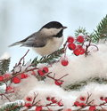 Black- capped Chickadee On Festive Spruce Royalty Free Stock Photo
