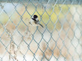 Black capped chickadee metal fence Royalty Free Stock Photos