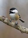 Black Capped Chickadee - Parus atricapillus Royalty Free Stock Photo