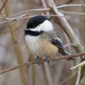 Black-capped Chickadee - Poecile atricapillus Royalty Free Stock Photo