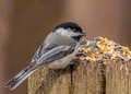 Black capped chickadee perched on a post with bird seed Royalty Free Stock Photos