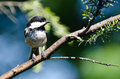 Black-Capped Chickadee Perched in a Tree Royalty Free Stock Photo