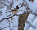 Black capped chickadee perched on a tree branch Royalty Free Stock Photo