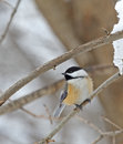 Black capped chickadee poecile atricapilla cickadee perched on a tree branch Royalty Free Stock Photography