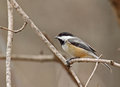 Black capped chickadee poecile atricapilla perched on a tree branch Stock Photo
