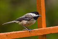 Black-capped Chickadee (Poecile atricapillus). Stock Photo