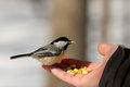 Black capped chickadee poecile atricapillus is a small north american songbird it is notable for its capacity to lower its body Stock Images