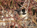 Black capped chickadee sitting branch Stock Photography