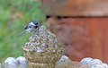 Black capped chickadee a splashing in garden fountain while taking a bath Royalty Free Stock Photography