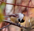 Black capped chickadee on tree branch with coloured leaves in background Royalty Free Stock Photography