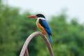 Black capped kingfisher Royaltyfri Foto