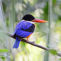 Black capped kingfisher beautiful bird halcyon pileata standing on a branch back profile Stock Image