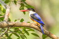 Black capped kingfisher on the branch in nature of thaialnd Stock Photography