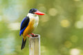 Black capped kingfisher front side of on bamboo Royalty Free Stock Photo