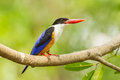 Black capped kingfisher full side of halcyon pileata in nature Stock Images
