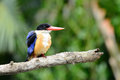 Black-capped Kingfisher(Halcyon pileata) Royalty Free Stock Images