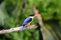 Black-capped Kingfisher(Halcyon pileata) Royalty Free Stock Photography