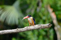 Black-capped Kingfisher(Halcyon pileata) Stock Photography
