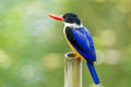 Black capped kingfisher halcyon pileata on the bamboo in nature Royalty Free Stock Image