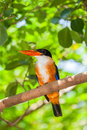 Black capped kingfisher halcyon pileata on the branch in nature Royalty Free Stock Images