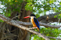 Black capped kingfisher halcyon pileata catch on the branch in nature Royalty Free Stock Image