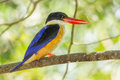 Black capped kingfisher halcyon pileata looking at us Royalty Free Stock Image