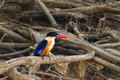 Black capped kingfisher halcyon pileata in nature Stock Photography