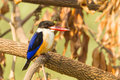 Black capped kingfisher halcyon pileata in nature Stock Image