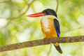 Black capped kingfisher halcyon pileata in nature Stock Photo