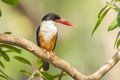 Black capped kingfisher halcyon pileata in nature Stock Photos